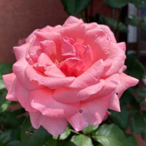 ピンク色のバラの花が美しい!初夏の八王子が美しい!