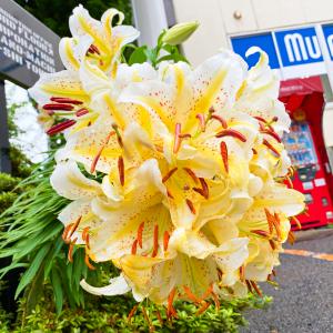 帯化ヤマユリが満開!花盛り!咲いた咲いた!! 1株に19個の花が咲きました!!!!