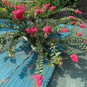 赤桃色の西洋サルスベリ「タスカローラ」が満開!花火のような花です!!