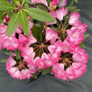 スーパーローディー「ミセスフジイ」満開♪ 傑作シャクナゲの玉のような美しい花姿&綺麗な花色♪♪
