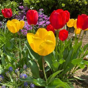 黄色と赤色のチューリップの庭 風に揺れるあざやかでやさしいチューリップ