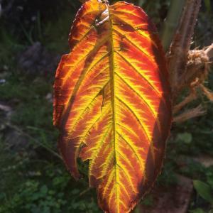 雅子皇后の桜(プリンセス雅)の紅葉と落葉が美しく儚い