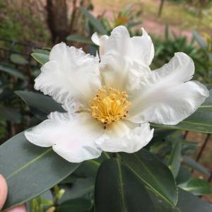 純白の椿!台湾ツバキ(ゴードニア)が美しい白い花を咲かせました!