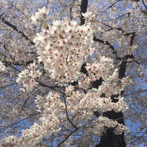 桜咲く感激の春!2日連続、お花見しながらお弁当。八王子タコ公園の桜がうつくしい