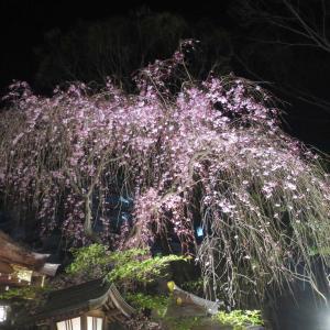 ライトアップされた子安神社の夜桜(しだれ桜) - 津軽三味線ライブに酔いしれた夜間参拝