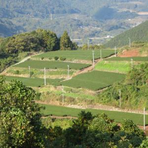 絶景お茶畑!赤木集団茶園は長崎県東彼杵町のそのぎ茶の茶畑