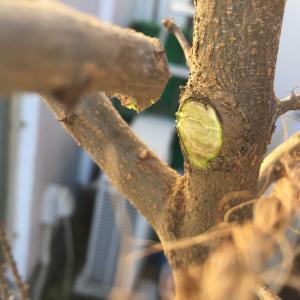 石榴(ざくろ)の剪定と 3月~12月のザクロの木と花の画像