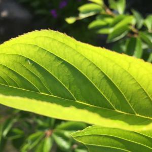 真っグリーン!雅子皇后の桜(プリンセス雅)が鮮烈な緑色の世界を演出中!