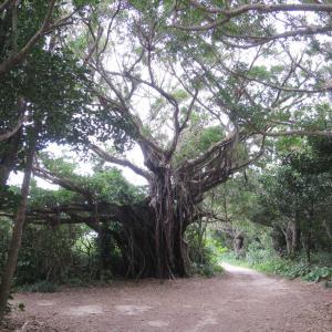 神の島・久高島北部(南岸)のガジュマルの木、イシキ浜、ウパーマ浜