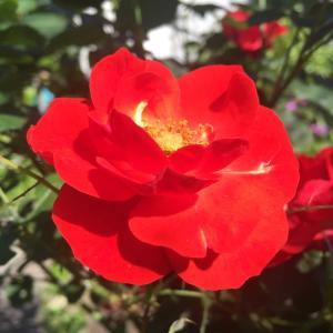 強烈な赤いローズ!まっ赤なバラの花が咲いています!八重咲きで咲き誇っています!!