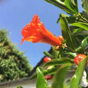 ザクロ観察日記: ザクロの小さな蕾が開花するまでの写真観察日記
