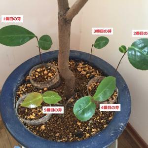 実生は強い!種から育てた実生の玉の浦椿の様子