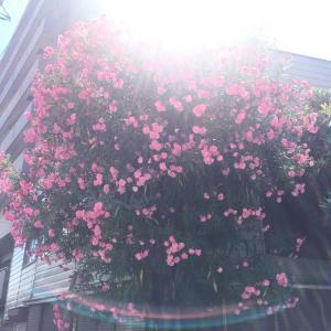 平和の象徴の花!広島市の市の花・夾竹桃(キョウチクトウ)の花