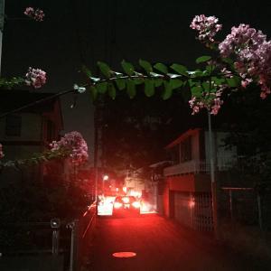 晩夏、街灯の下のピンク色の百日紅
