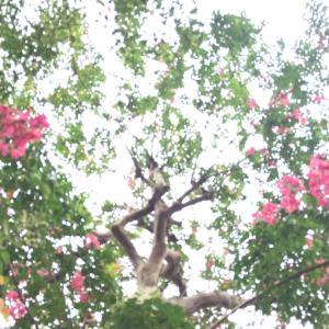 八王子市大横町・極楽寺の濃い紅色の百日紅(さるすべり)
