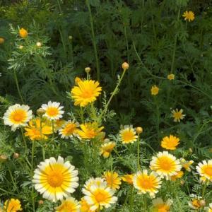 春菊の花のごとく・・・