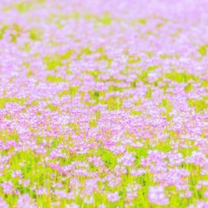 思い出の花、レンゲ草を育てる。