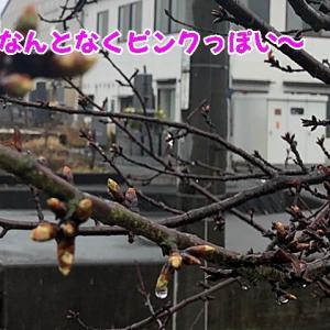 桜の蕾も膨らんで~♪゜・*:.。. .。.:*・♪