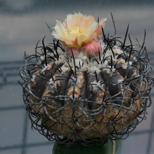 コピアポア・グリセオビオラセアの開花