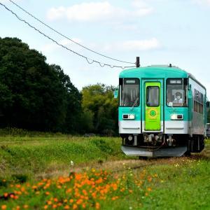 北条鉄道のコスモス風景を行くローカル気動車(長~播磨下里)