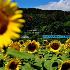 和歌山線のひまわりの花が咲く里を行く105系他(大和二見~隅田)