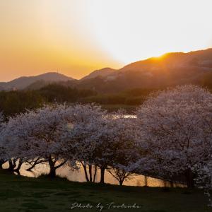 岡山市 百間川 せせらぎ広場の桜