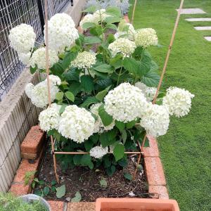 アナベルの雨が降ったら花が倒れちゃう問題 支柱を立てました