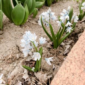 家にあるもので作る朝食のケークサレと花壇に春の訪れがぼちぼち‥
