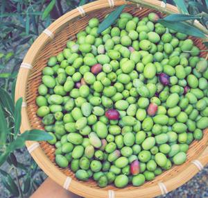 オリーブの収穫