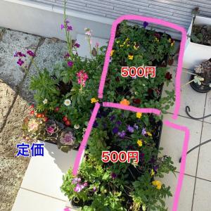 球根&ビオラで春の花壇計画!白犬が映える庭造り
