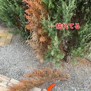 DAISOノコギリで庭木のメンテナンス★剪定ローズマリーでブーケ作り
