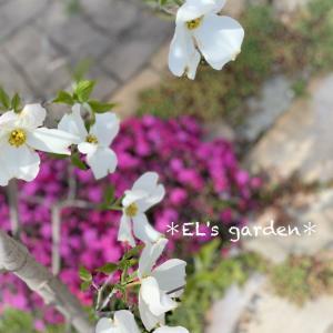 ネモフィラ、セラスチューム、セージ次々と開花★わくわくコラボ花壇