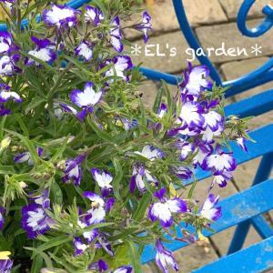 鳥籠IN寄せ植えを夏にチェンジ★ロベリア・マリンあいす爽やか寄せ植え