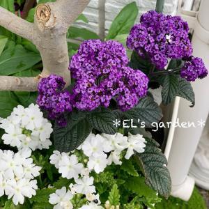 香水の花ヘリオトロープ★ウンベラータを外に出して根元を飾る