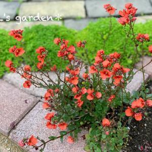 寄せ植えから卒業したダーラのその後&へっぽこ家庭菜園の記録
