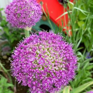 南東花壇の植え替え&紫玉の大玉アリウム開花&お得な大盛りセンペル丼