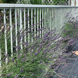 庭で香りを感じたい★ラベンダーグロッソを自然に愛でる