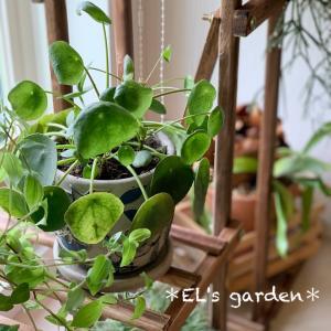 室内ミニ観葉植物の棚が届いたよ!お店屋さんみたいにしたい