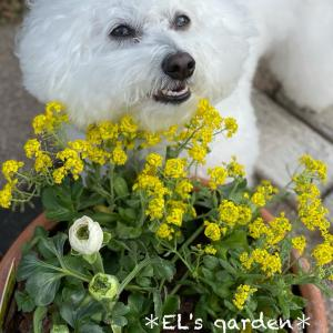 ピンク星人が作る黄色い寄せ植え★サミットとラナンキュラスで春待ち