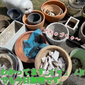 古い鉢土の処理に予備花壇をプチDIY&ビオラとパンジーの撤退作業!