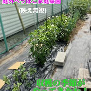 ミニ夏花壇の寄せ植え&家庭菜園とうもろこし受粉をしたよ!
