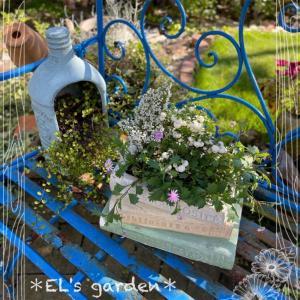 book鉢にハッピーベリーとエリカの寄せ植え作ったよ&珍しいリンドウ白寿