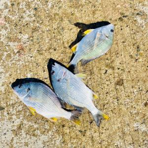 【釣行記】淡路島でチヌボーズくらいました!キビレ3匹