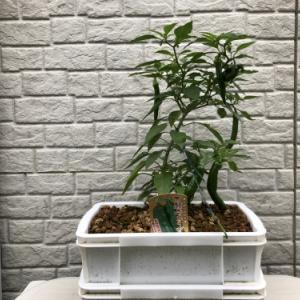 ダイソーのコンテナで万願寺トウガラシ栽培・・その後