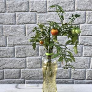 ミニトマトわき芽ペットボトル栽培・・その後