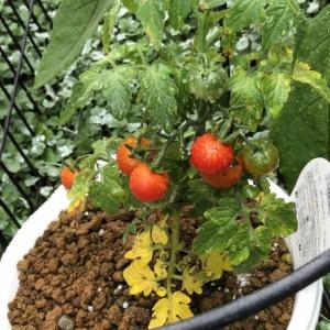 ダイゾーのザル・ボールトマト頑張っています。