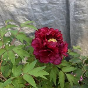 牡丹の赤い花