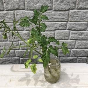 ダイソーのコンテナでミニトマト栽培