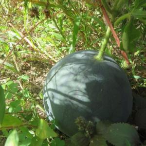 今年最後のスイカと夏植えのブロッコリー収穫