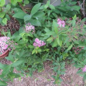 5月27日~6月3日 アマリリスの開花とブロッコリーの初収穫